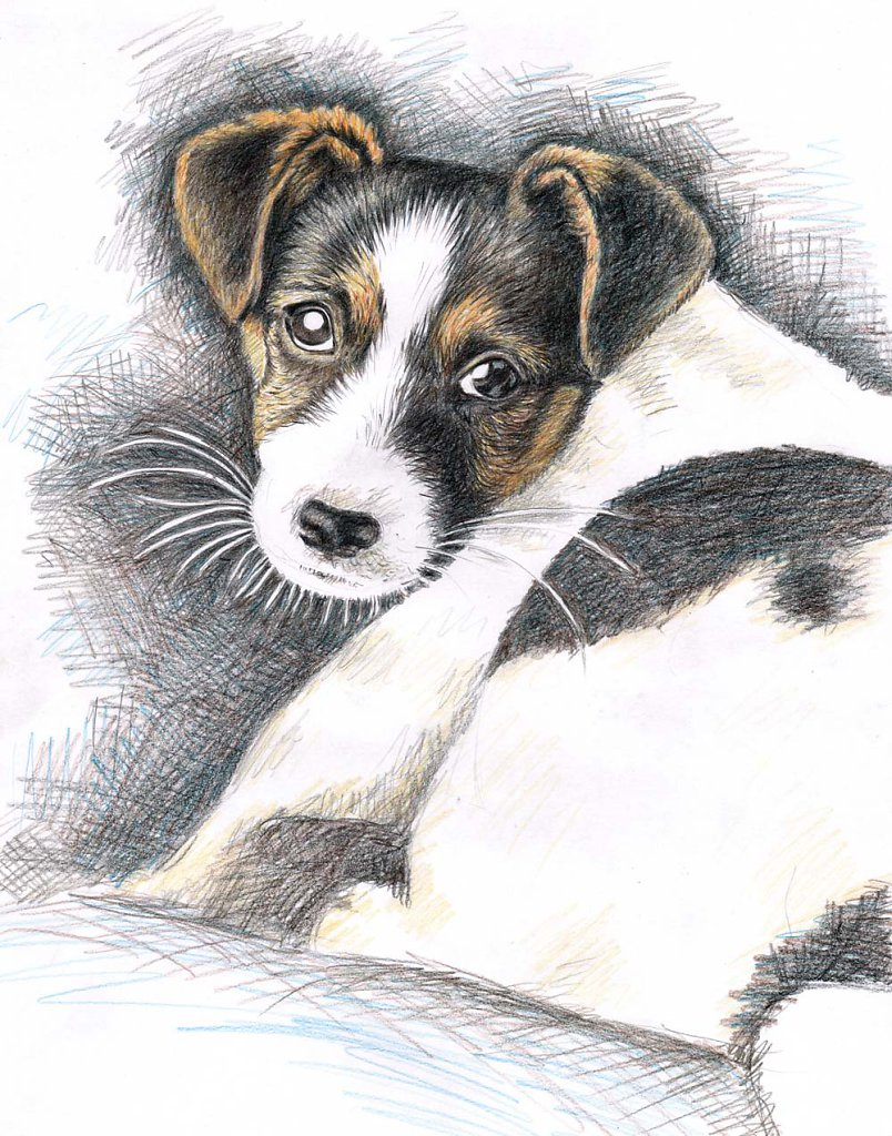 Jack Russell Welpe - Puppy Jack Russell