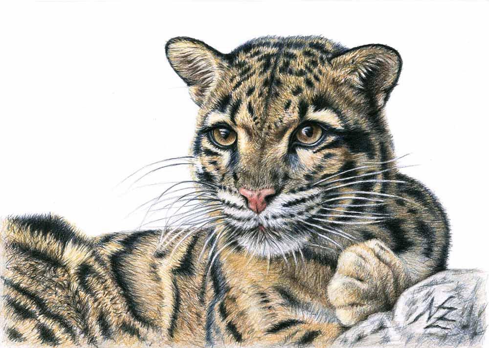 Nebelparder - Clouded Leopard
