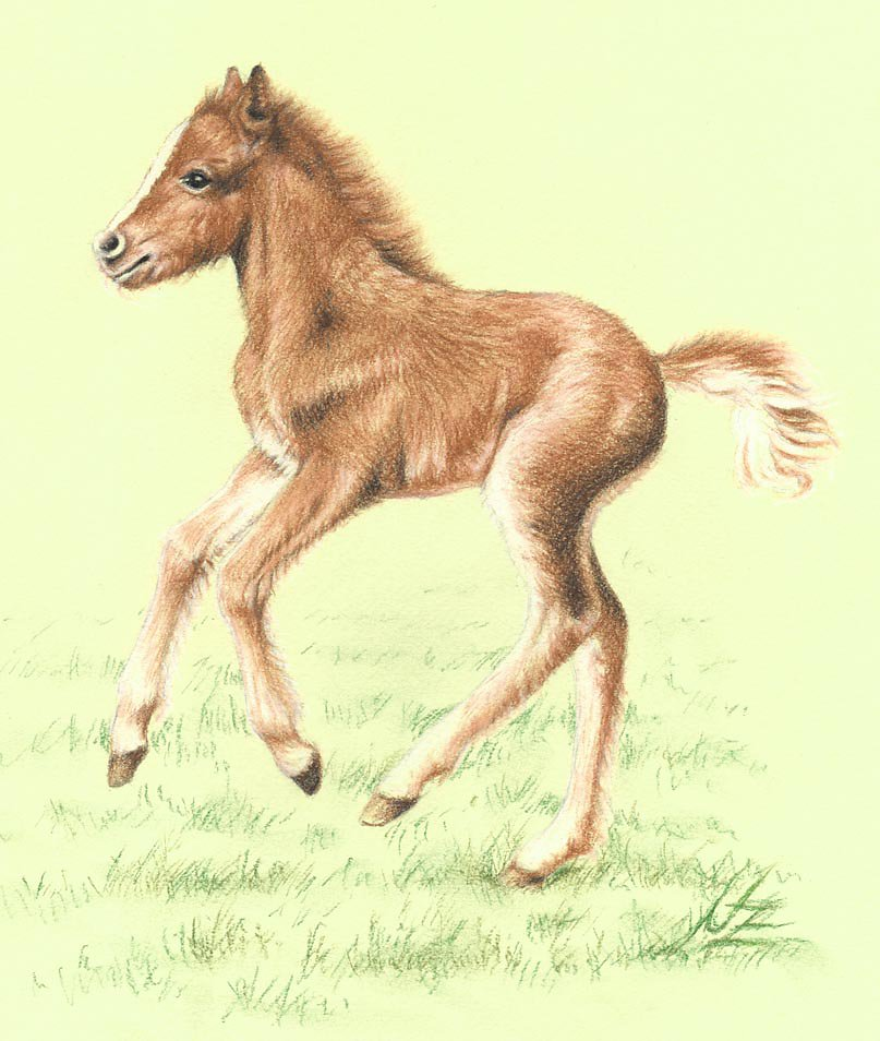 Rotfuchs Pony Fohlen - Red Pony Foal