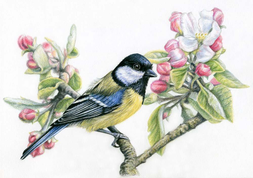 Meise und Apfelblüte - Bird in Spring