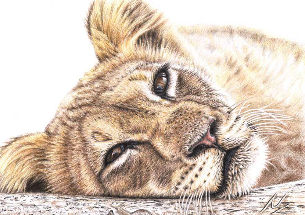 Tired Young Lion