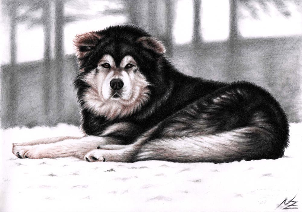 Malamute Winter